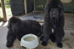 cucciolate-cani-terranova-vecchie-09