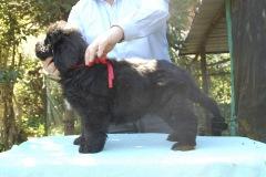 cucciolate-cani-terranova-vecchie-10