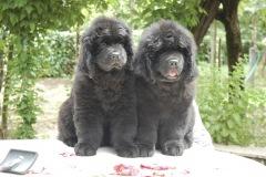 cucciolate-cani-terranova-vecchie-13