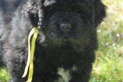 cucciolate-cani-terranova-vecchie-15