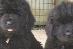 cucciolate-cani-terranova-vecchie-19