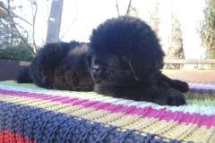 cucciolate-cani-terranova-vecchie-25