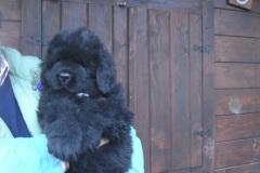 cucciolate-cani-terranova-vecchie-27