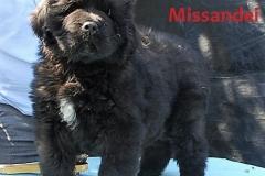 cucciolate-cani-terranova-vecchie-34